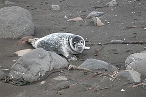 Young seal at beach in the faroe islands (behind rocks).JPG