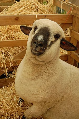 Dark-faced Norfolk sheep.jpg