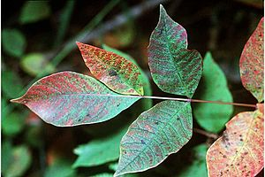 Leaves of a Poison Sumac shrub