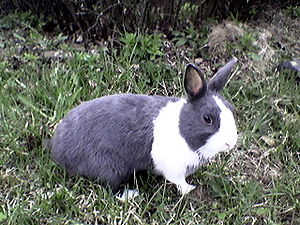 Dutch rabbit.jpg