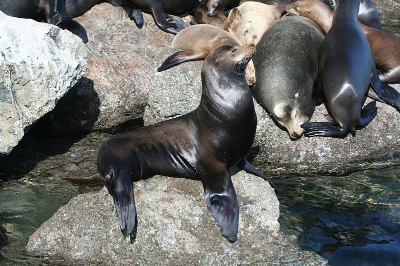 File:Sealion052006.JPG