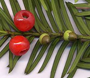 Taxus baccata (European Yew) shoot with mature and immature cones