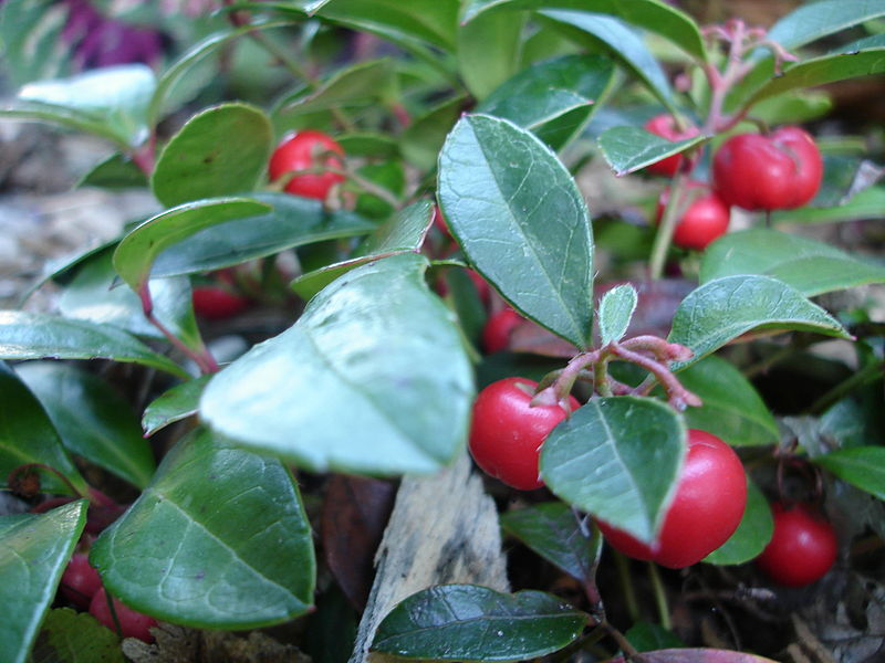 File:Gaultheria procumbens.JPG