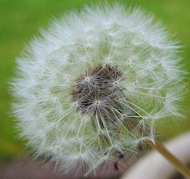 File:Flickr - Michael Gwyther-Jones - Dandelion.jpg
