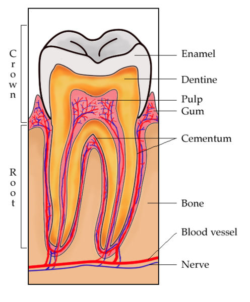 File:ToothSection.jpg