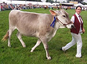 Brown swiss.jpg