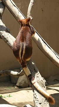 Buergers' Tree-kangaroo back and tail.jpg