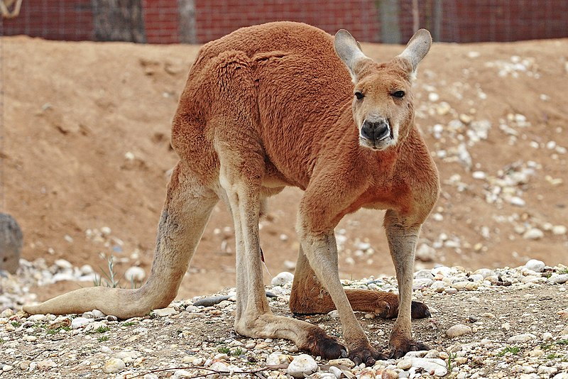 File:Red kangaroo - melbourne zoo.jpg